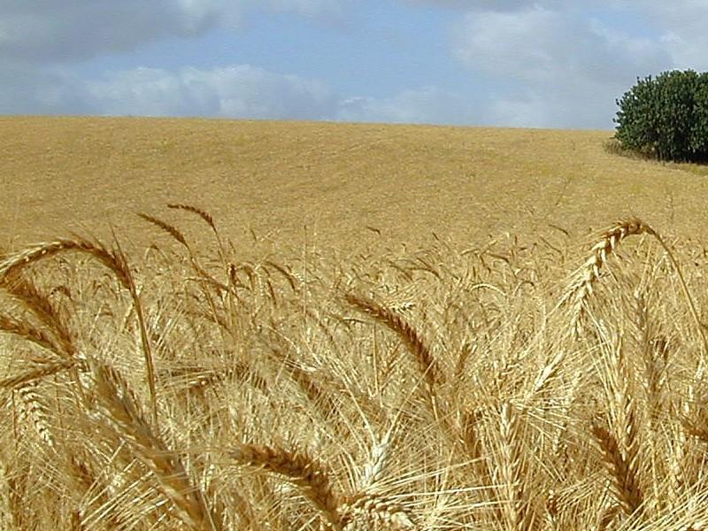 Правительство Мексики отменило налоги на выращивание риса, кукурузы и пшеницы.  Сообщение об этом сделал президент...