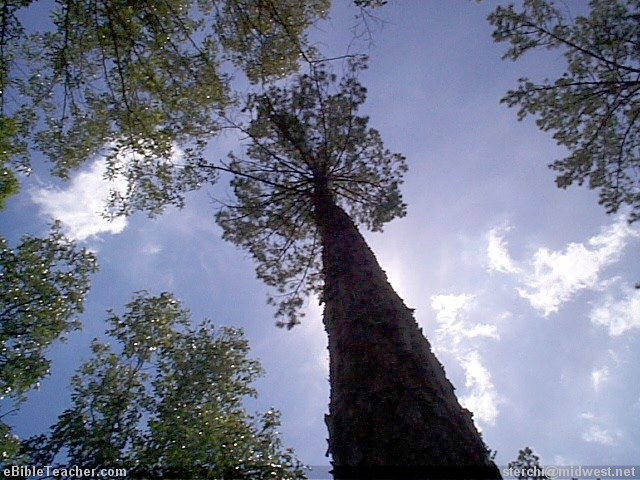 how tall is tall tree